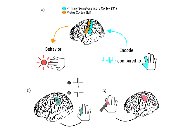 (a) Here, we test the impact on behavioral performance for native cortical input (haptic touch) compared to artificial feedback. (b) DCS to S1 hand cortex results in a sensory percept over a specific, consistent location on the hand. (c) An experimenter uses a digital touch probe to provide haptic feedback to the same hand location. The subject then responds in  both cases as soon as he or she feels sensation in the hand region, using a button held in the opposite hand to perceived sensation.